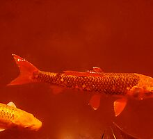Red Fish by rboldy
