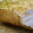 Fallen Leaf by Maureen Kay
