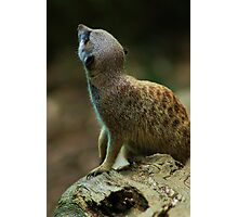 The Meercat Photographic Print