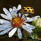 Morning Dew and a Beetle Too! by PamelaJoPhoto