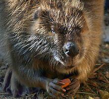 Beaver by CarolM