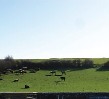 Irish Cows :) by shanmclean