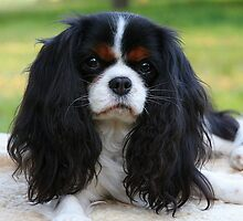 Tansy - A Tricolour Cavalier by Jenny Brice