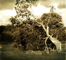 Wind Blown, Gnarled and Twisted. by mariarty