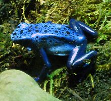 blue poison dart frog by marianne troia