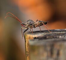 Wheel Bug - Arilus cristatus by PamelaJoPhoto