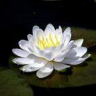 White Lily by Kathy Weaver