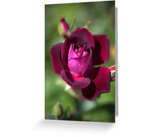 Love Of The Summer Rose Greeting Card