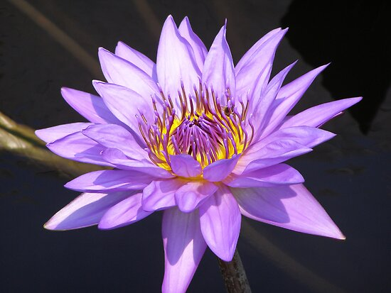 Water Lily by Kathy Weaver