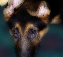German Shepherd Puppy by wendywoo1972