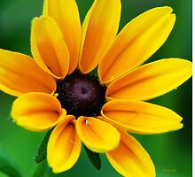 Yellow Daisy Flower by Christina Rollo