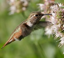 Female Rufous Hummingbird - 6008 by BartElder