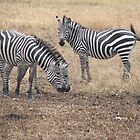 Zebras in Masai Mara by Mel1973