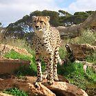 Cheetah, Monarto Zoo by Mel1973