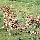 Cheetah brothers, Monarto Zoo by Mel1973