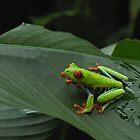 Red Eyed Tree Frog 2 by Dennis Stewart