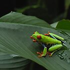 Red Eyed Tree Frog 2 by Dennis Stewart