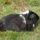 Long Haired Guinea Pig  by LoneAngel
