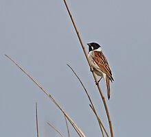 Reed Bunting by Robert Abraham