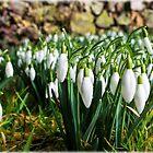 Snowdrops - Galanthus by Susie Peek
