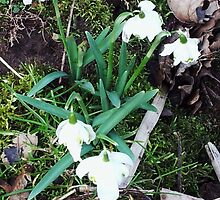 Snowdrops by amylw1