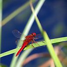 Dragonfly 1 by Kallian