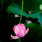 pink lotus 2 by fatalsweets