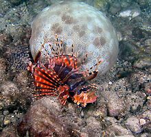Lionfish and Pillow Star, Palau, Micronesia by David Leonard
