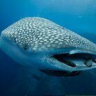 Whale Shark, Cocos Island, Costa Rica by David Leonard