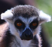 lemur by jdmphotography