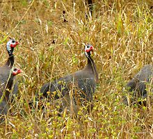 Helmeted Guineafowl by Marilyn Harris