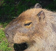 This is one big rodent the (Capybara) by jdmphotography