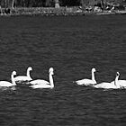 Snow Geese by WeeZie