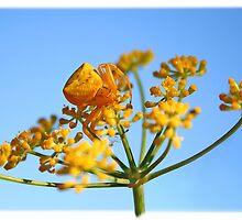 Goldenrod Crab Spider by Kuzeytac