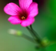 Little Pink Flower (2) by Gary Rayner