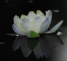 WHITE WATER LILLY by sean sweeney
