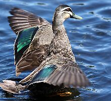 Pacific Black Duck by margotk