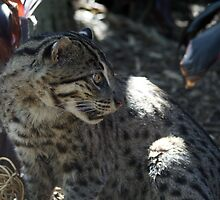 Fishing Cat by Sharon Robertson