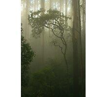 silver wattle  Photographic Print