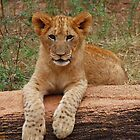 Lion Cub by SolomomSC
