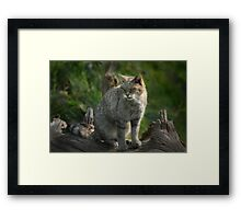 Scottish Wildcat (Endangered Specie 400 left) Framed Print