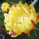 Cactus, the Flower by georgiegirl