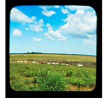 Cattle Walk the Line Photographic Print