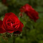 Red Rose by Madilation