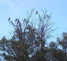 Galah Tree by Sharon Stevens