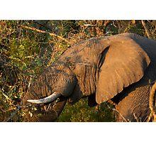 Elephant Bull Photographic Print