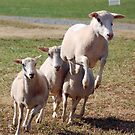 Leaping Sheep by Jane Best