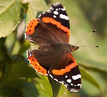 Red Admiral Butterfly on Suffolk Garden Bush  by mayhurden