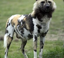Wild dog by fionajean