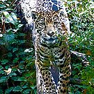 Female Jaguar by IanPharesPhoto